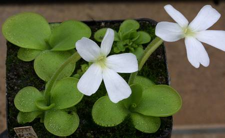 Fiche culture de Pinguicula Pinguicula_moranensis_white_flower_Copyright_Rostislav_Simek