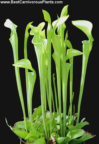 http://bestcarnivorousplants.com/CP_Photos/Sarracenia_oreophila_Copyright_P_Dzik.jpg