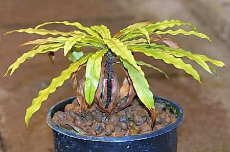 Triphyophyllum peltatum