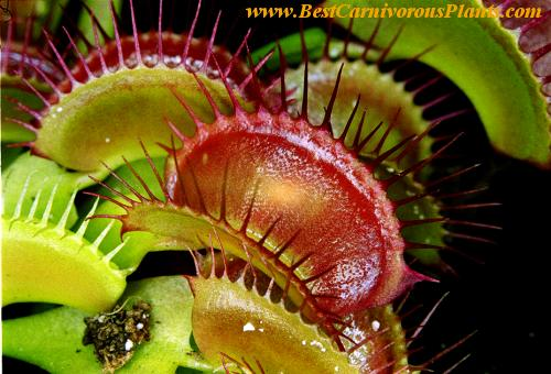 Giant Venus Fly Trap For Sale
